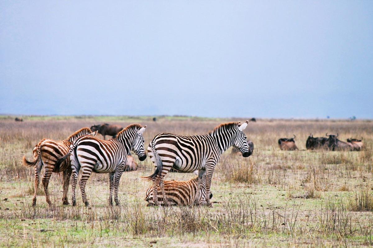 ンゴロンゴロ国立公園にいたシマウマ